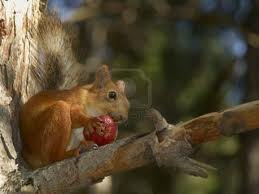 Squirrel population boom frustrates fruit...