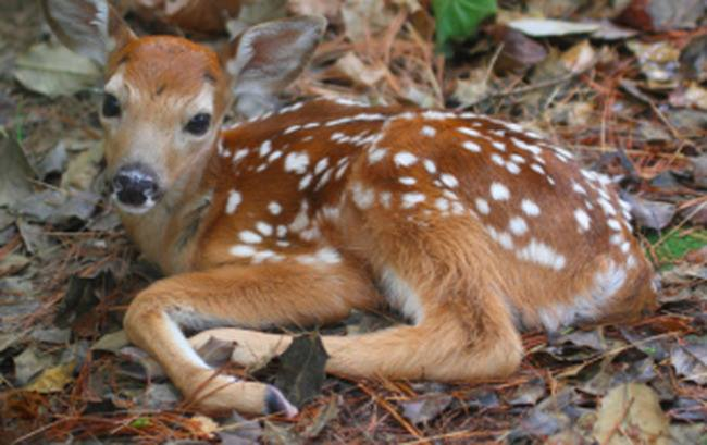 Hastings-on-Hudson To Curb Deer Population With Birth Control, Not Bullets